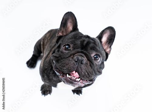 Foto Spatwand Franse bulldog French bulldog isolated