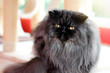 Black gray persian cat sitting in the room