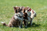 Three Longhair Chihuahua dog