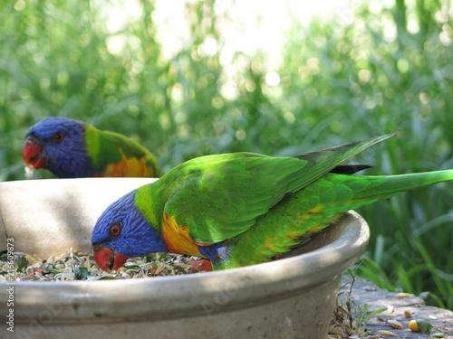 Foto Spatwand Papegaai Rainbow lorikeet in the wildlife, NSW, Australia