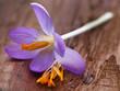 Leinwanddruck Bild - Saffron crocus flower