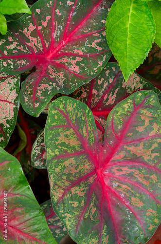 Plexiglas Thailand Caladium leaf, Tropical plant