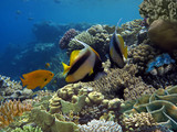 Photo of a coral colony and Bannerfish. - 216617681