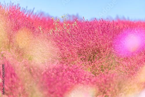 Plexiglas Candy roze Kochia and cosmos filed Hitachi Ibaraki Japan