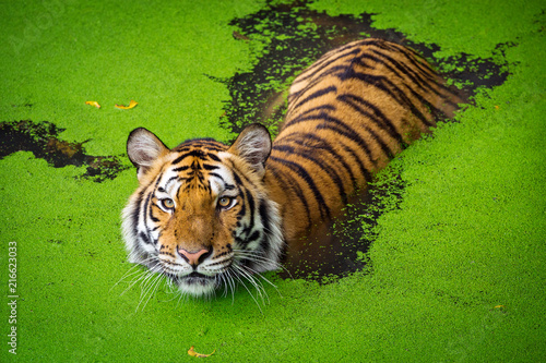 Naklejka Asian tiger standing in water pond.