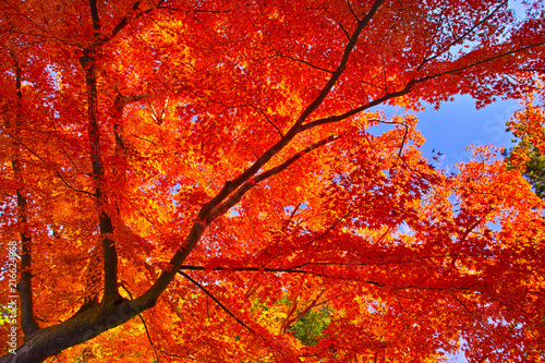 Canvas Rood 紅葉シーズンの鎌倉、紅葉の森