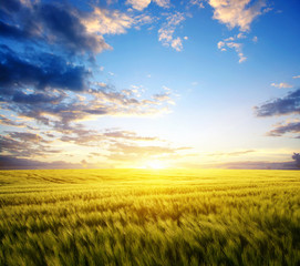 Sunset on the wheat © Alekss