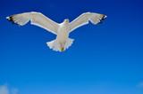 White seagull flying against the blue sky