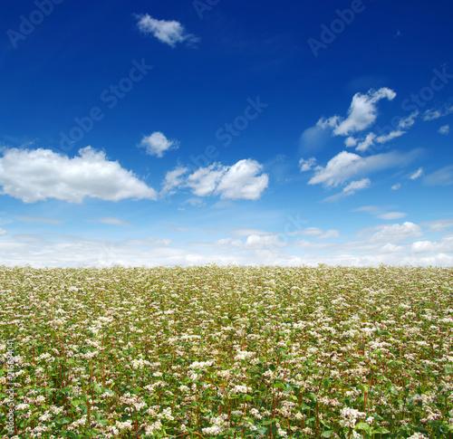 Fotobehang Beige buckwheat field on sky
