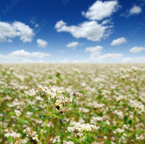 Aluminium Beige buckwheat field on sky
