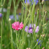 Bright pink cornflower among other flowers