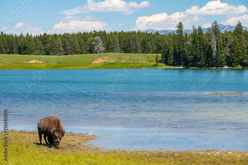 Canvas Bison Lone bull on the bank of Indian Pond in Yellowstone NP