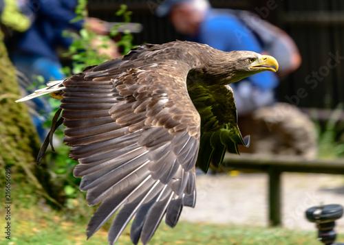 Canvas Eagle Raubvögel