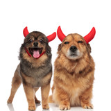 cute pom and adorable brown metis dog wearing devils horns
