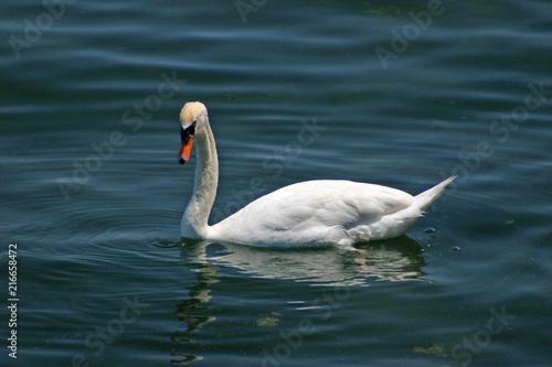 Canvas Zwaan beauty white swan on blue water