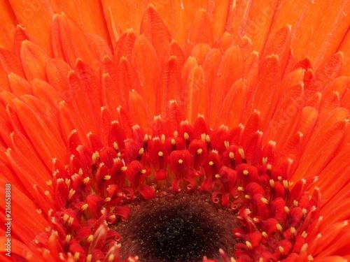 Foto Spatwand Gerbera Colorful Gerbera Flower close up