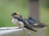 Young swallows (Hirundo rustica) perched allong fence rail - 216660894