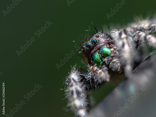 Foto Murales Jumping spider close up
