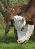 Hausrind mit Kalb auf Weide, Bayern, Europa