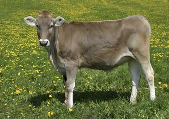 Schweizer Braunvieh auf Weide