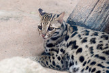 Leopard cat (Prionailurus bengalensis)  close up in the zoo.