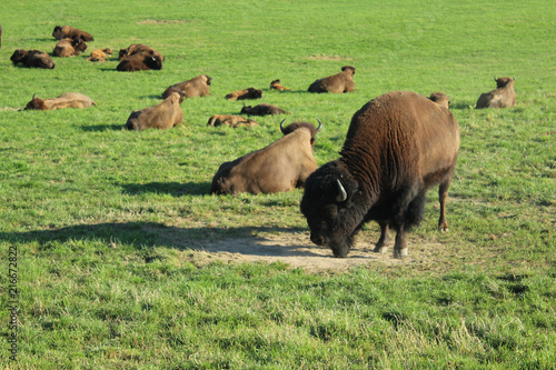 Canvas Bison troupeau de bisons d'europe en suisse