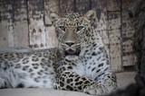 Leopardo macho descansando en cautividad