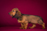 Puppy Dachshund on a Burgundy background.