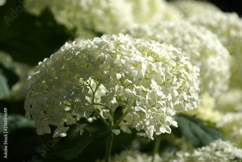 Foto Spatwand Hydrangea Hortensie weiß 373 Hydrangea