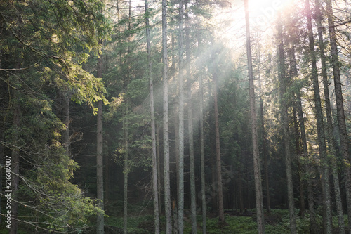 Magic misty forest in the morning. Summer landscape in the mountains. early morning. rays of light in the fog through the pines in the forest