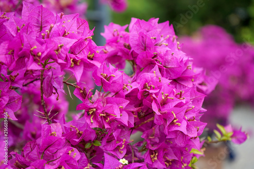 Lesser bougainvillea glabra nyctaginaceae, tropical flowers from rainforest, close-up view - 216689464