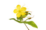 Perforate Saint John's wort - 216690205