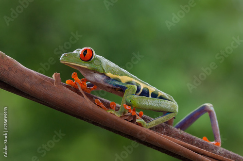 Foto Spatwand Kikker A red eyed leaf frog photographed in Costa Rica