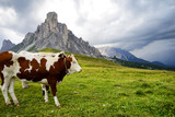 Cows grazing in Dolomites Mountain Alps