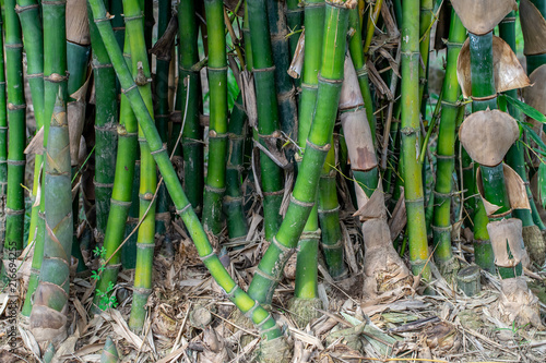 Bamboo in the forset © thitiphat5555