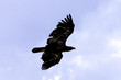 Flying golden eagle (Aquila chrysaetos) in United Kingdom - 216696064