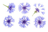 Blue cornflower isolated on white background macro. Set or collection