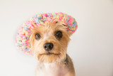 Closeup portrait of a dogs face wearing a rainbow knitted beanie isolated on a plain background