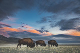 Bison in Sunset - 216717442