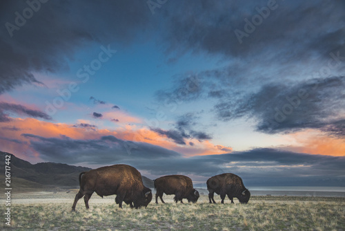 Poster Bison in Sunset