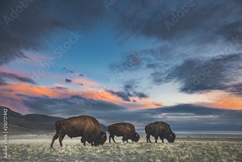 Foto Murales Bison in Sunset