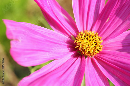 Pink blossoming cosmos from close-up.