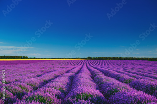 Lavender field in Provence - 216719275