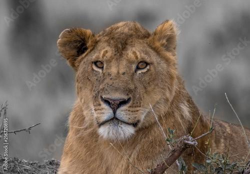 Foto Spatwand Lion lions