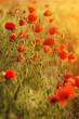 poppies field background