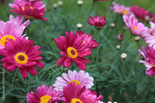 Margeriten pink rose Wiese