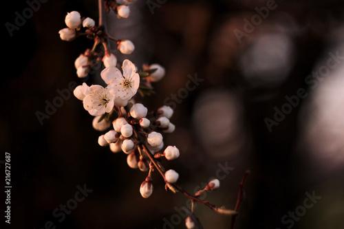 Foto Spatwand Kersen beautiful cherry blossom flowers on branch in spring field in the evening sunshine