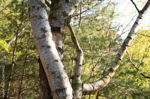 Entwined birch trees by jziprian - 216734422