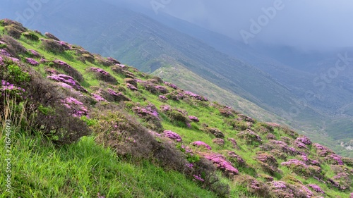 Canvas Azalea 阿蘇の山一面にツツジが咲く情景