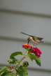 Hummingbird feeding from a flower